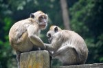 monyet tawangmangu_6