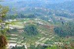 Ladang padi_Manggarai