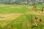 Sawah di Desa Cancar Manggarai
