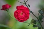 mawar purbosari_01