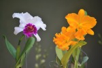 orchid _ 11